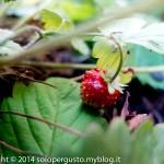 Fragoline di bosco